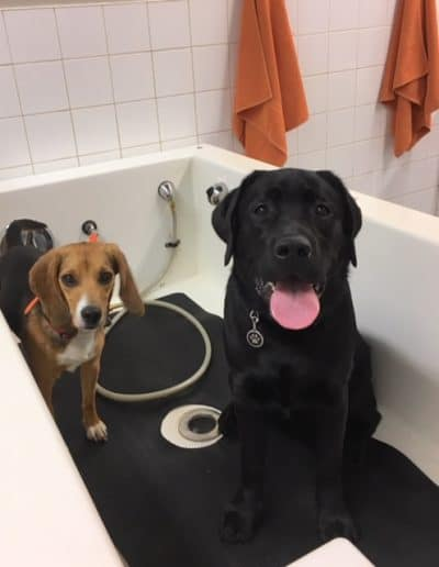 Two dogs in the DIY dog wash, one with their tongue hanging out.